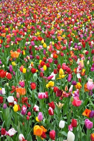 tulipas-da-holanda