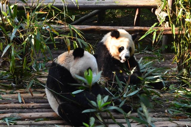 panda_china