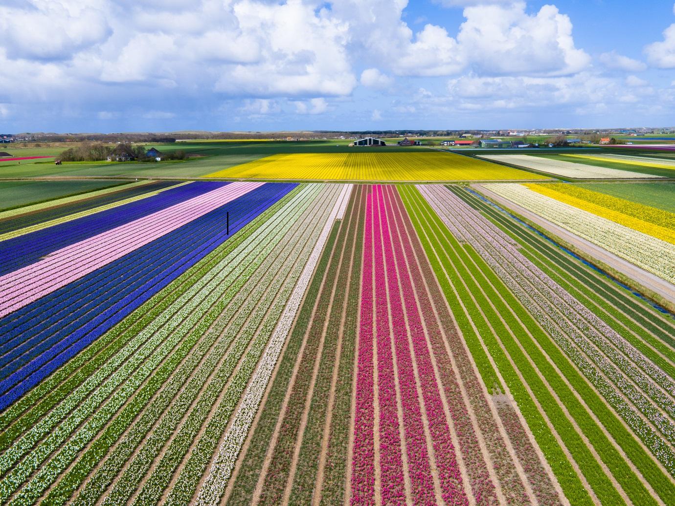Campos de tulipas, em Lisse na Holanda