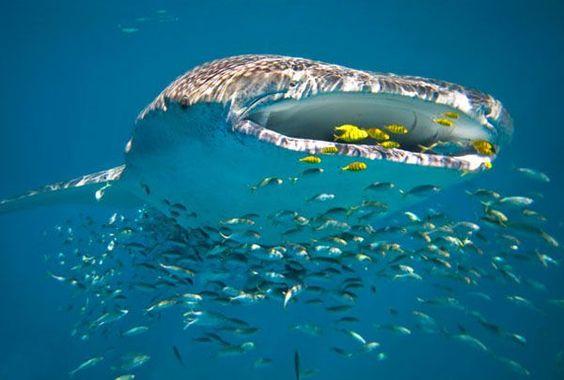 7 destinos incríveis para nadar com tubarão-baleia
